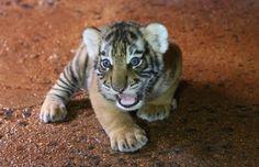 Um dos quatro tigres real de bengala que nasceram no Zoológico de Goiânia, Goiás (Foto: Mantovani Fernandes/O Popular)