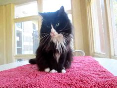 Psst, over here! Please don't overlook me. I'm Fresca, and I would love to start my new life with someone like you. I know I'm not usually the first cat to run to the door of my room here at the SPCA and greet people, but that doesn't mean I'm not a pleasant gal. I am a spayed female, black and white Domestic Longhair and I am about 9 years old. (ID#A038642)