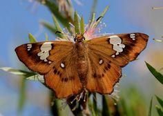 Butterflies of Australia - Netrocoryne repanda  Bronze Flat