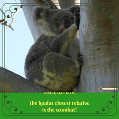 Wow - one underground and one in the tree tops and yet they are close cousins! So many amazing koala facts Mist will teach you 😀🐨 Wombat, Tree Tops, In The Tree, Lonely Planet, Cousins, September, Environment, Australia, Facts
