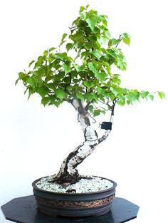 Old Bonsai Beauty – Site Wide Sale Ends Tomorrow | Bonsai Bark