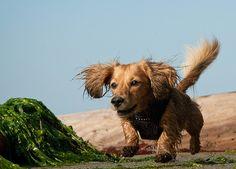Wild dachshund running free