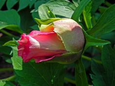 One of my favorite breeder's introductions: tree peony 'Ariadne' in bud stage. But wait. There's more...!