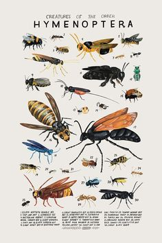 Creatures of the order Hymenoptera- vintage inspired science poster by Kelsey Oseid