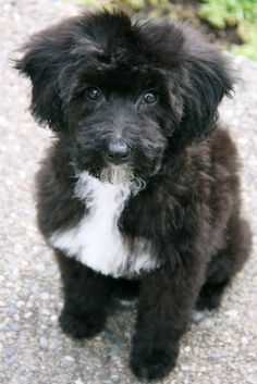 Schnoodle love. Just add cocker and lasa apso and you get my Presley!