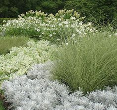 White and silver flowers light up an evening garden...Front to back: Dusty Miller (Senecio), Miscanthus gracillimus (grass), Caladiums, Spiderflower (Cleome), Hydrangea paniculata (a cultivar such as Tardiva, Limelight, etc.)