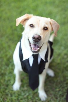 Samantha and Kyle's Intimate Savannah, GA Wedding. Their 4 year old yellow lab as groomsman. Photography Jennifer Woodbery. #pets  See photos on www.intimateweddings.com
