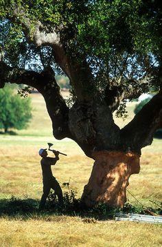 Harvesting cork from an ancient cork oak.