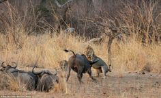 Mating Lions disturbed by Buffalo | African Safaris