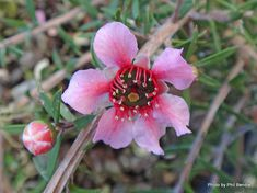 Leptospermum Pink Cascade, w x h Flowers spring-summer T.N - Taranaki Educational Resource: Research, Analysis and Information Network - Trees (New Zealand Native) Leptospermum hybrids & cultivars with photos Native Plants, Research, New Zealand, Nativity, Education, Trees, Flowers, Pink, Photos