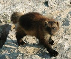 """Good News: Wolverine in United States May Get Protection Under Endangered Species Act  by Douglas Main  Currently, fewer than 300 wolverines reside in the continental United States, according to various estimates. In February, the U.S. Fish and Wildlife Service proposed listing the animal as """"threatened"""" under the Endangered Species Act, which would help protect the animal and its dwindling habitat. A total of 25environmental groups from the West have called on the agency to..."""