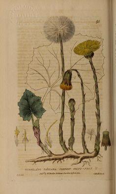 v.2 (1835) - British phaenogamous botany, - Biodiversity Heritage Library