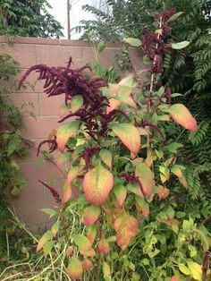 Loveliesbleeding (amaranthus caudatus): A beautiful annual plant with distinctive long, drooping flower clusters. Best in full sun or light shade. Also known as tassel flower.