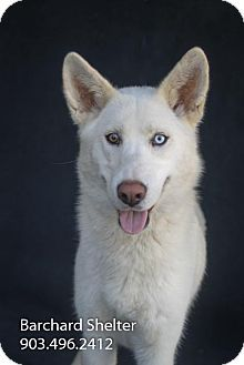 Wolfe City, TX - Shepherd (Unknown Type). Meet Nala-596c a Dog for Adoption.