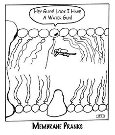 What are the different parts of the lipid bilayer? Why is this comic funny?