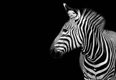 zebras are radicool..  see what i did there