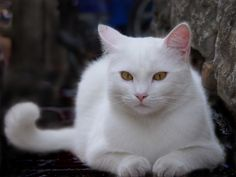 we lost our beautiful white cat today :'( this is NOT her…but she looked just like this!
