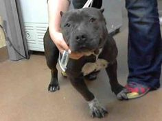 CALIFORNIA URGENT ~ CUESTA is an adoptable Pit Bull Terrier Dog in Martinez. Adopt her soon at CONTRA COSTA ANIMAL SERVICES  Martinez Shelter  4800 Imhoff Place   Martinez, CA 94553   Phone: 1-925-335-8300