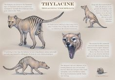 Thylacinus cynocephalus : Tasmanian Tiger   carnivorous #marsupial by *JennyParks on @deviantART http://jennyparks.deviantart.com/art/Thylac…   Pinteres…