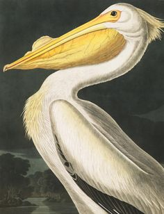 John James Audubon's Birds of America - free high res downloads