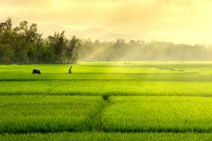 Glowing rice fields in Vietnam Village Photography, Farm Photography, Landscape Photography, Photo Background Images, Photo Backgrounds, Champs, Best Island Vacation, Field Wallpaper, Beautiful Vietnam
