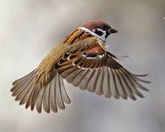 Part of my next tattoo, Eurasian Tree Sparrow. Pretty Birds, Beautiful Birds, Animals Beautiful, Cute Animals, Bird Drawings, Animal Drawings, Sparrow Bird, Yorky, Bird Artwork