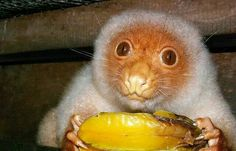 Common Spotted Cuscus - Marsupial - They have been known to wrap leaves around them to hide.