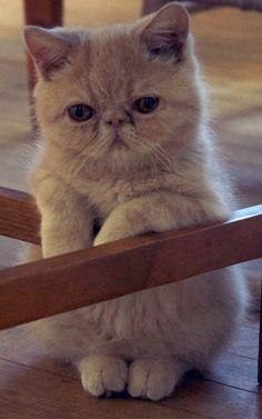 Kitten exotic shorth