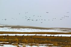 April 9, 2011. Geese Fly