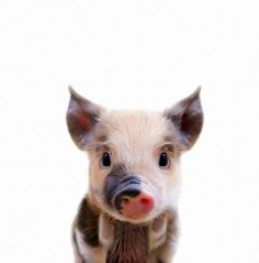 G L Ü C K - Süße Tierbabys.Snoop Dogs & other cute pets - Animals And Pets, Funny Animals, Cute Baby Pigs, Mini Pigs, Cute Little Animals, Tier Fotos, Disney Films, Cute Creatures, Dog Accessories