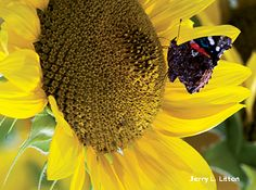 Help make life easier for migrating butterflies and hummingbirds by cultivating fall-blooming plants that provide food and places to rest.
