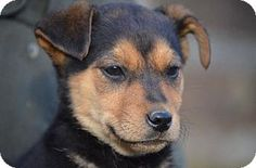 Doylestown, PA - Shepherd (Unknown Type)/Terrier (Unknown Type, Medium) Mix. Meet Beanie Babies: Pepita, a puppy for adoption. http://www.adoptapet.com/pet/12189438-doylestown-pennsylvania-shepherd-unknown-type-mix