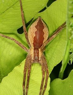 Pisaurina mira (Nursery Web Spider)   Adult Female   This is a large hunting…