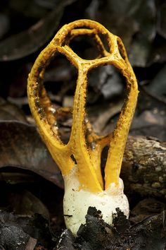 Basket Stinkhorn ~ By Arddu