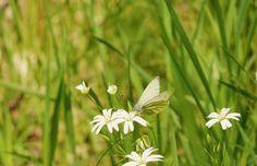 Schmetterling/ Falter/ Butterfly