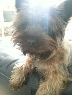 Sad eyes Cairn Terriers, Sad Eyes, Cutest Dogs, Smiles And Laughs, Cairns, Little Dogs, Yorkie, Cute Puppies, Doggies