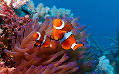 Deux poissons clown