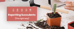 Succulents— the Right Way Whether you've been a succulent guru for the past ten years or you just purchased your very first succulent plant,Whether you've been a succulent guru for the past ten years or you just purchased your very first succulent plant, Repotting Succulents, Hanging Succulents, Small Succulents, Succulents Garden, Succulent Plants, All Plants, Shade Plants, Cactus Plants, Indoor Plants