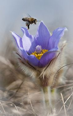 Bee busy on Pasque-flower [Pulsatilla patens; Famiy: Ranunculaceae] - Flickr - Photo Sharing!