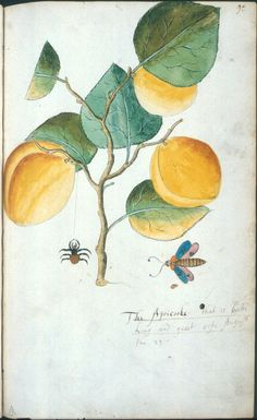 The Apricooke (that is booth Long and greet) - Tradescant's Orchard John Tradescant (~1570-1632) and his son, also named John (1608-1662), were gardeners to the nobility and royalty of England and both travelled widely collecting botanical specimens. Between them they introduced a large number of foreign species (including many of the fruits depicted) that remain prevalent in the average English gardens of today.