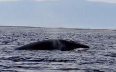 Baleine de Tadoussac