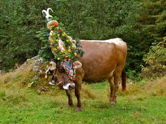 """Austrian Bell(e) - Captured this ornate beast in the Zillertal valley region of Austria. It had been dressed ready for the """"Almabtrieb"""". - The ceremony of the bringing down of the cows to lowland pastures in preparation for the winter. The cows are decorated and carry a bell the size of which is relative to how they have given milk throughout the summer."""