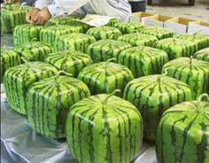 Japanese square melons