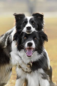 Border Collie Puppies- by Ksenia Zubkova on Cute Puppies, Cute Dogs, Dogs And Puppies, Doggies, Sheep Dogs, Beautiful Dogs, Animals Beautiful, Funny Animals, Cute Animals