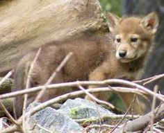 Red wolf pup at Salisbury Zoo, a Red Wolf Species Survival Plan participant. Photo credit theirs. Wolf Photos, Wolf Pictures, Wolf Spirit, Spirit Animal, Animals And Pets, Baby Animals, Animal Babies, Beautiful Creatures, Animals Beautiful