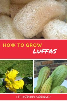 Growing luffas in the garden is a unique and interesting experience. There are a ton of uses for luffa. It's not hard to grow them and they are prolific producers.