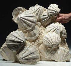 Large Miocene Period Fossil Pectens Scallop Shells