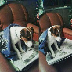 Leggiamo le notizie del giorno 🐶📰😂 #jrt #JackRussell #dog #read #news #funny #giornale #intellettuale #Spino #mylittlejack #pinterest #puppy
