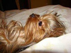 And now I lay me down to sleep.... .... I pray..................... zzzzzzzz #yorkie #itsaYORKIElife