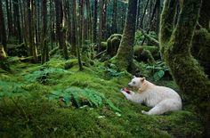 "Paul Nicklen    Spirit Bear    Great Bear Rainforest, British Columbia    AUGUST ISSUE    In a moss-draped rain forest in British Columbia, towering red cedars live a thousand years, and black bears are born with white fur.    ""Paul Nicklen is a master at getting closer. He gets close enough to take this beautiful forest with this beautiful bear, eating a salmon, and make it all come together in a photograph that captures your imagination. I feel like I'm there. I can almost smell that forest, the bear. This is Paul's home. This looks like a photo he took in his backyard of a dear friend.""  —Chris Johns, Editor in Chief"
